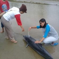 Lumba Lumba Terdampar di pantai Karang Nawing