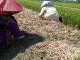 Antisipasi Puso, Petani di Kramatwatu Panen Muda Bawang Merah