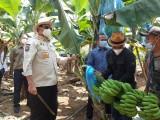 Kebun Pisang di Lebak Sangat Potensial dan Produktif